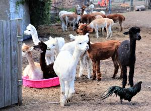 Hickory Lane Alpacas